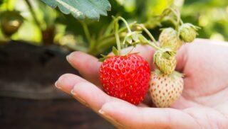 pyo strawberries kent