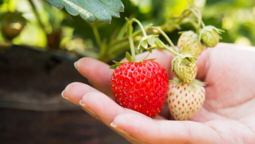 Pick Your Own strawberries in Kent