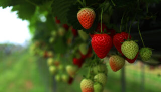 malling centenary strawberries hanging off the plant