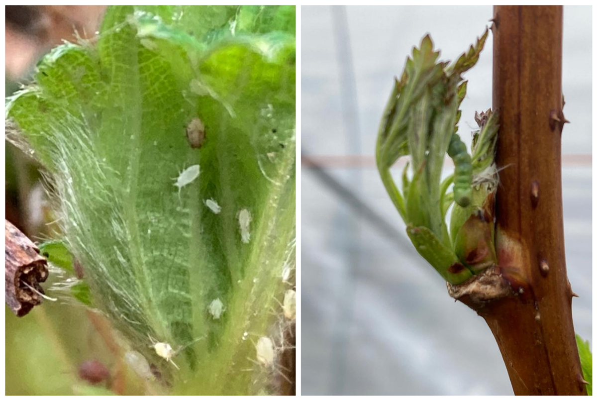 aphids and caterpillars strawberry plant pests